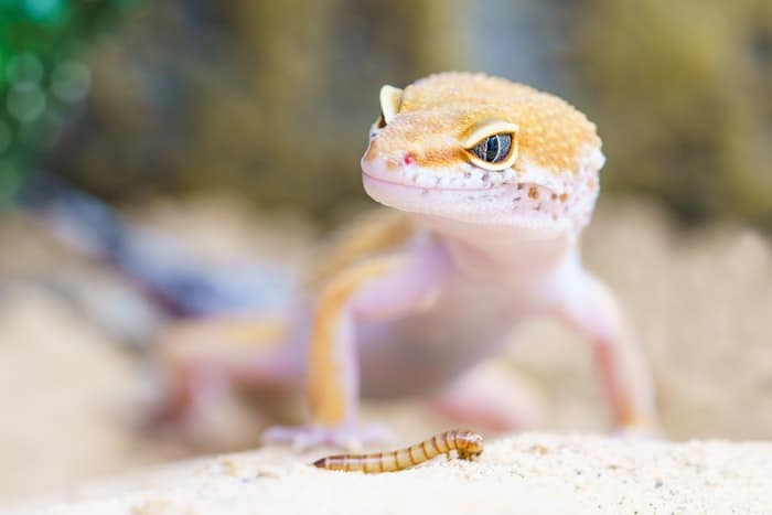 yellow lizard looking at insect to eat