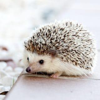 hedgehog on walkway next to pebbles pocket pet vet