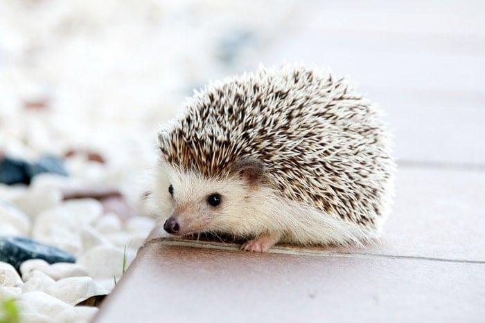 hedgehog wlking on wooden path