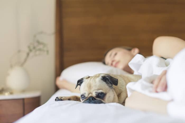 can coronavirus affect dogs COVID-19 sleepy fawn pug in bed with girl