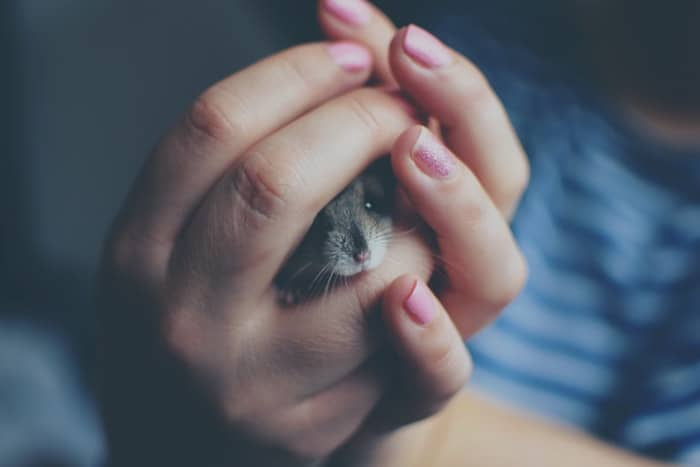 grey mouse head peeking out of clasped human hands