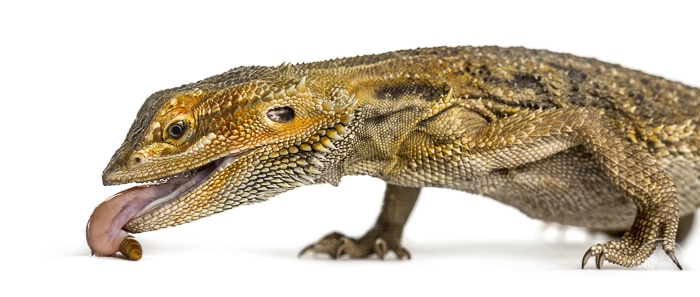 front half of a brown bearded dragon on a profile view with tongue sticking out eating food