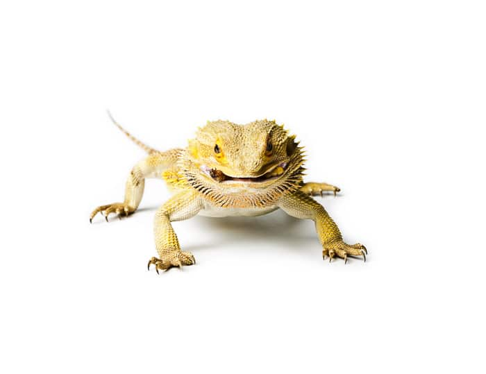 light yellow bearded dragon looking straight on to camera with white background