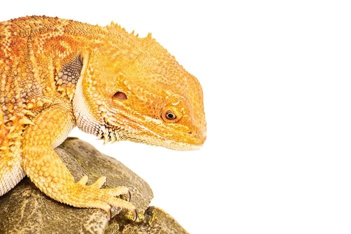 bright orange bearded dragon head on a plain white background
