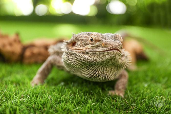 bearded dragon in green grass