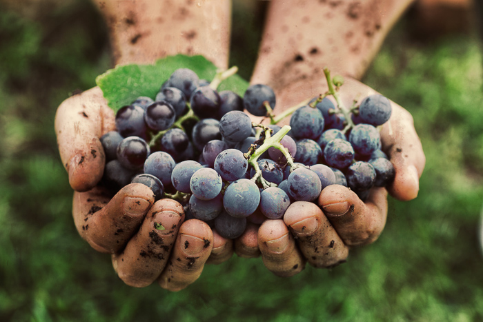 hands holding unwashed purple grape cluster with dirt