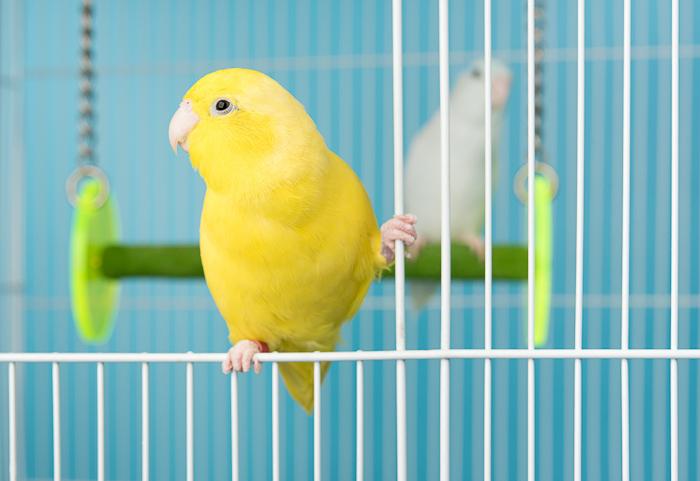 yellow canary bird in blue bird cage
