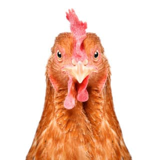 chicken head in front of white background, facing directly toward camera