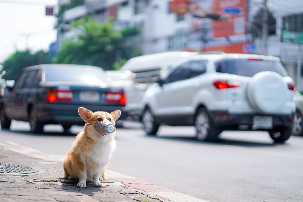 corgi dog with mask on street corner protecting against coronavirus