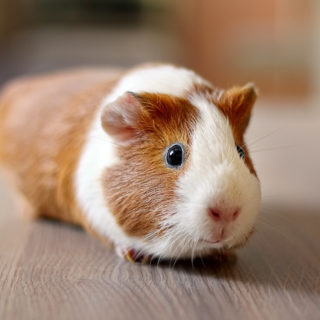 brown and white guinea pig on wood floor