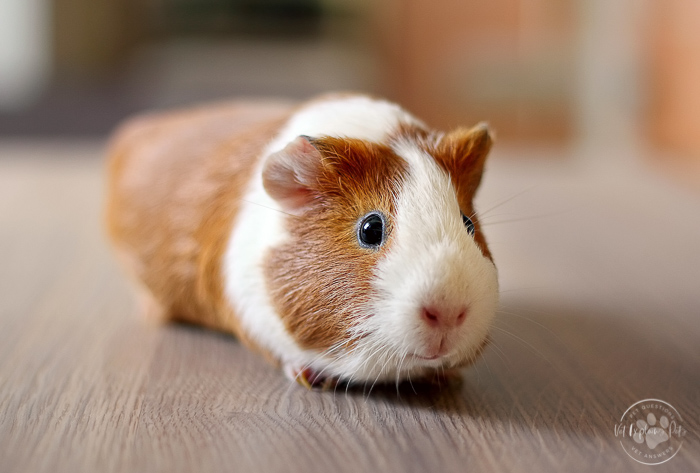red and white guinea pig on hardwood floor