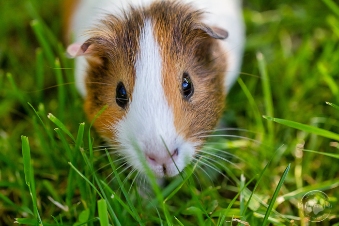 tricolor guinea pig standing in green grass