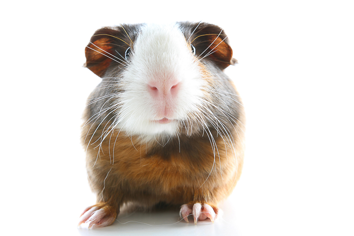tricolor guinea pig head on with white background