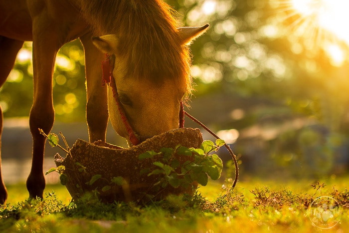 brown bay horse eating out of straw basket on the grassy ground, trees with sunset shining through in background