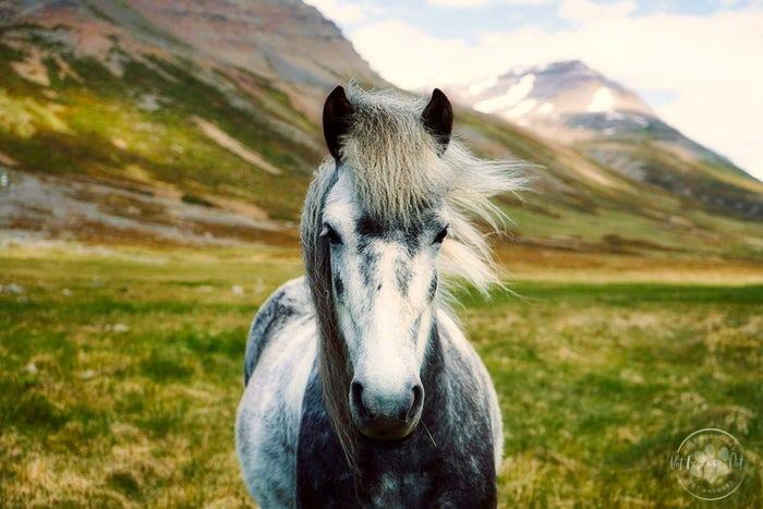 dark grey dapple horse white main in wind along mountain countryside