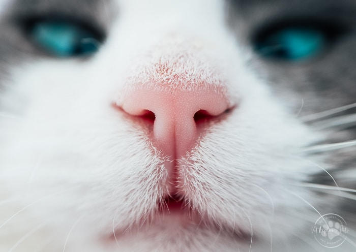 close up image of white and gray cat with pink nose and blue eyes