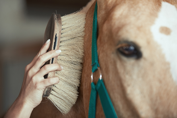 palomino horse with green halter being brushed