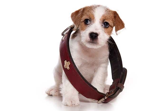 jack russell puppy wear an oversized adult dog collar