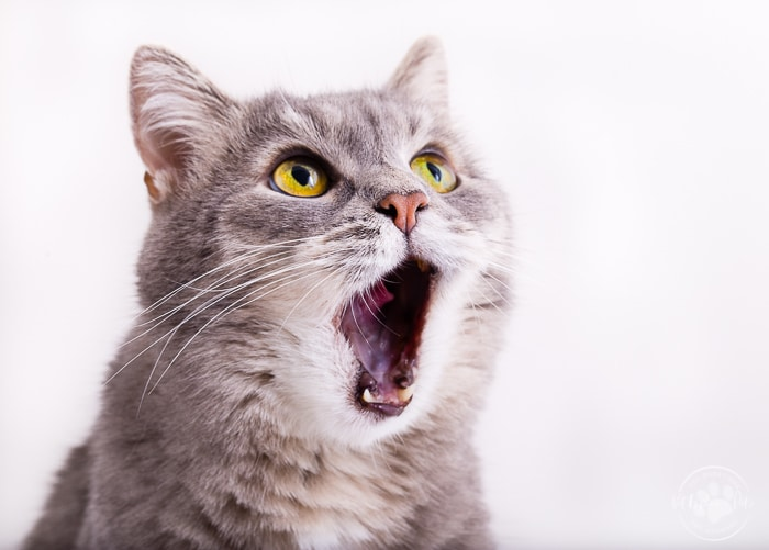grey tabby adult cat with mouth wide open looking astonished with white background