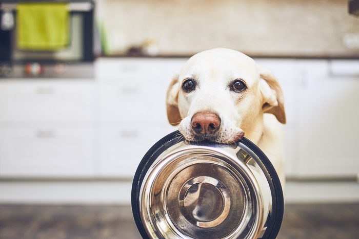 older yellow lab holding food dish in mouth