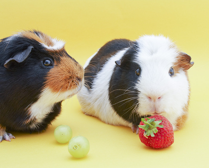 two tri color guinea pigs eating a strawberry and two green grapes