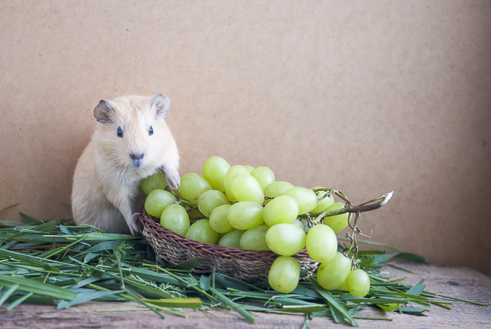 fawn guinea pig standing on basket full of green grapes