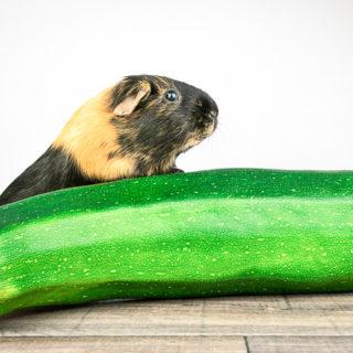 guinea pig eating zucchini