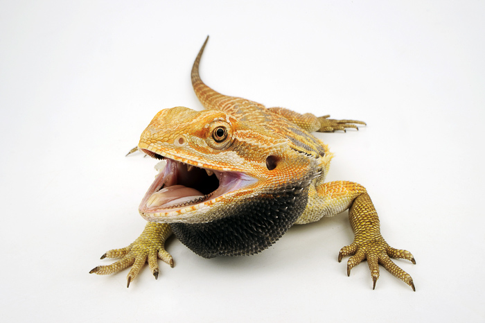 profile view of bearded dragon with tongue and mouth open