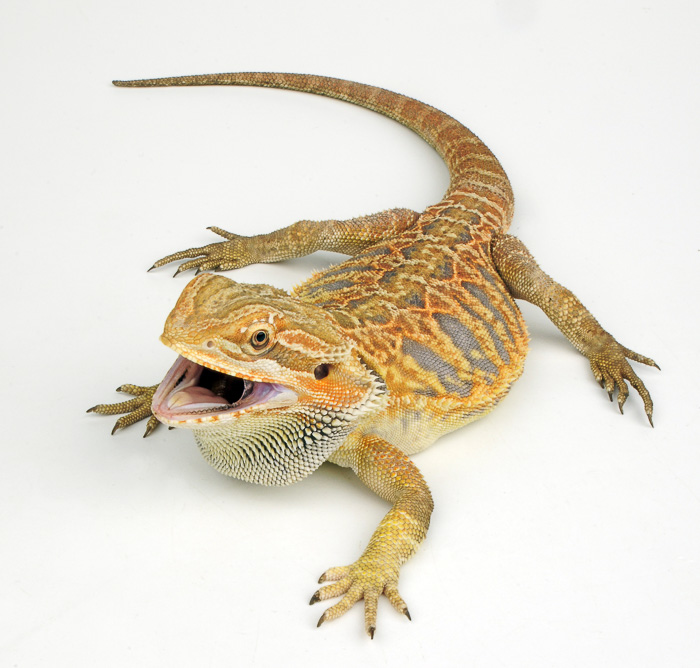 leatherback bearded dragon with mouth open
