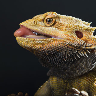 profile view of bearded dragon face with tongue sticking out and black background
