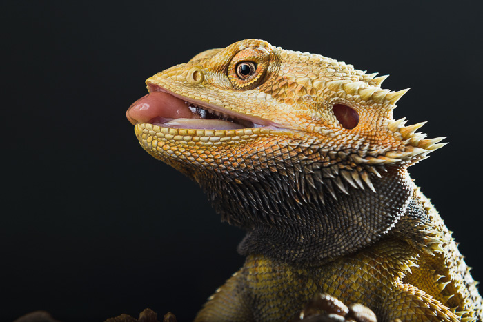 profile of bearded dragon head with tongue sticking out