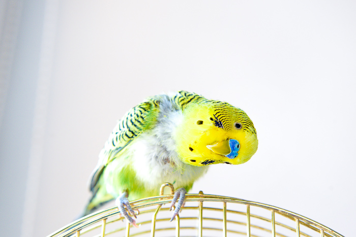 green yellow and blue parakeet with headed tilted on top of cage