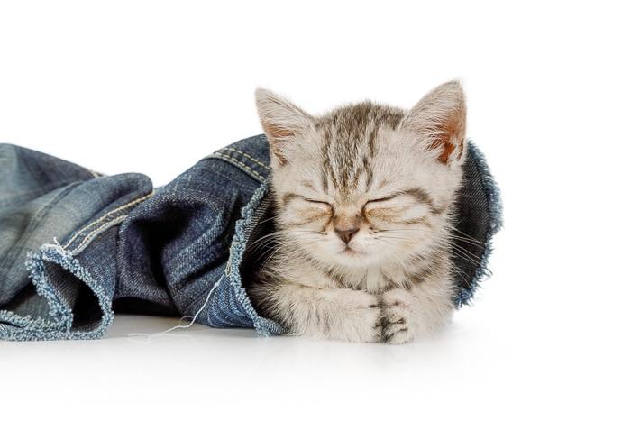 kitten sleeping with eyes shut inside pant leg of blue jeans