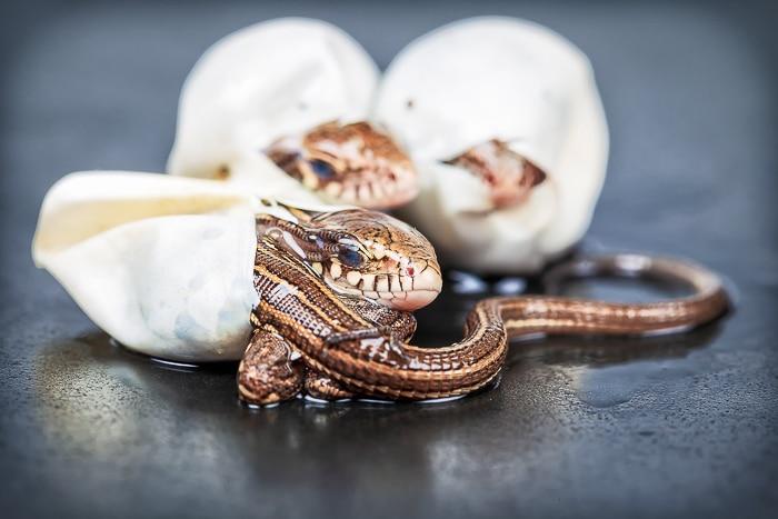 bearded dragon eggs hatching