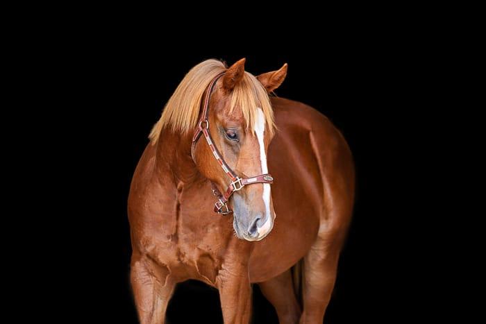 sorrel horse with black background