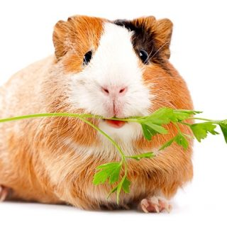 tri color guinea pig with cilantro stem in mouth