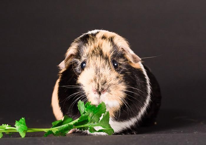 tricolor guinea pig head on