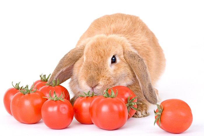 blonde rabbit sitting behind a row of tomatoes
