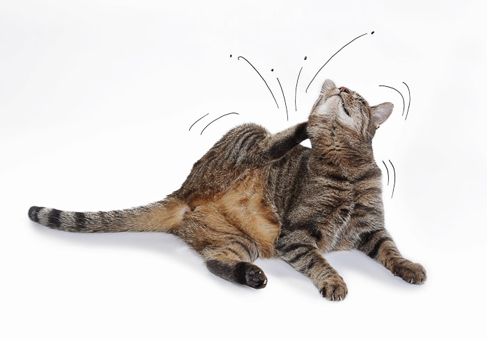 cat scratching itself