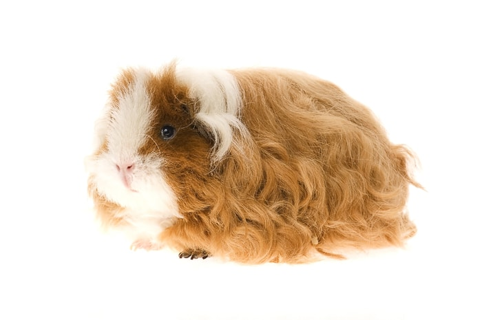 long-haired red and white texel guinea pig