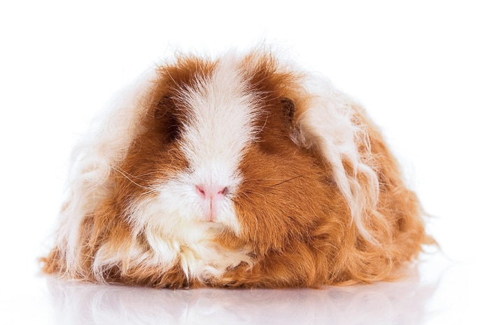 red and white texel guinea pig head on view