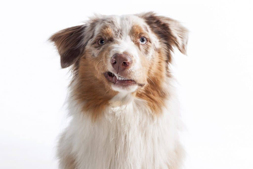 australian shepherd with snarky expression