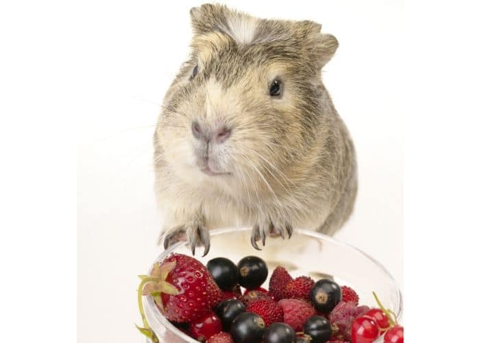 guinea pig eating out of bowl of raspberries