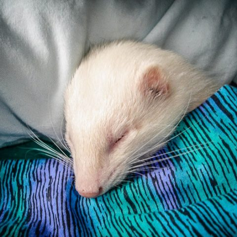 How To Change Ferret Sleeping Habits