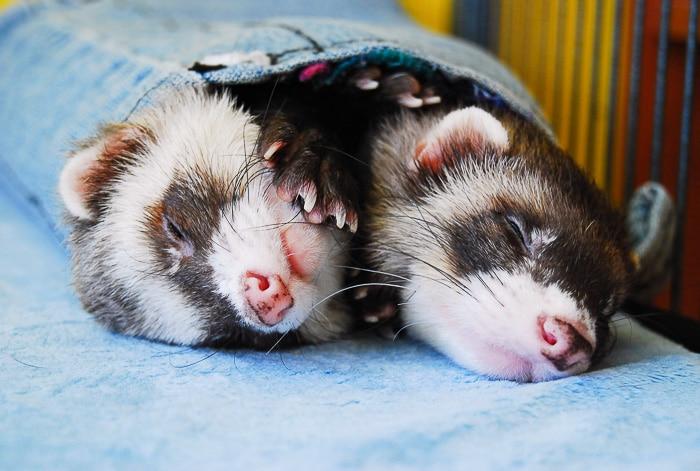 two ferrets sleeping on backs side by side