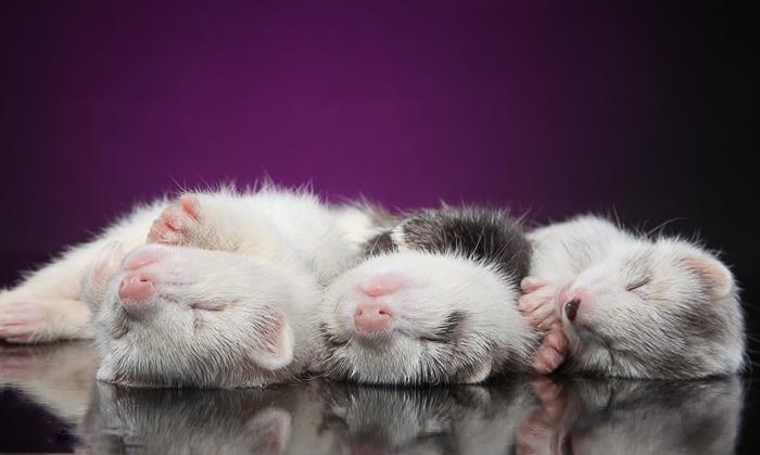 three ferrets sleeping on backs side by side