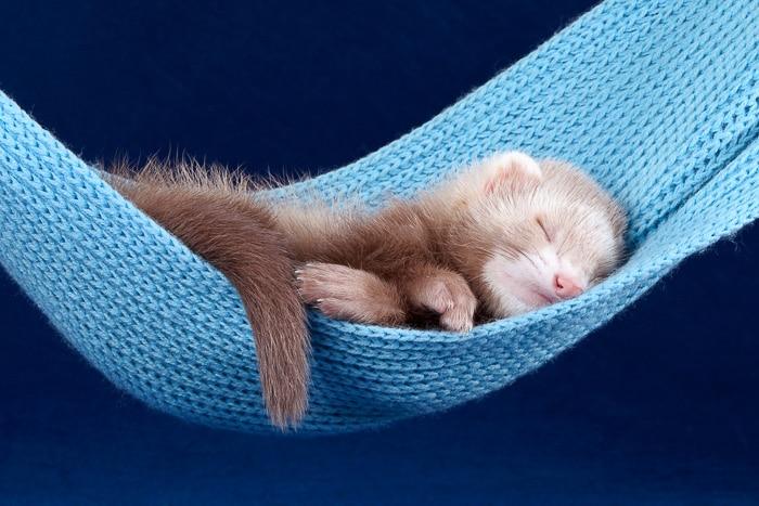brown ferret sleeping in blue hammock