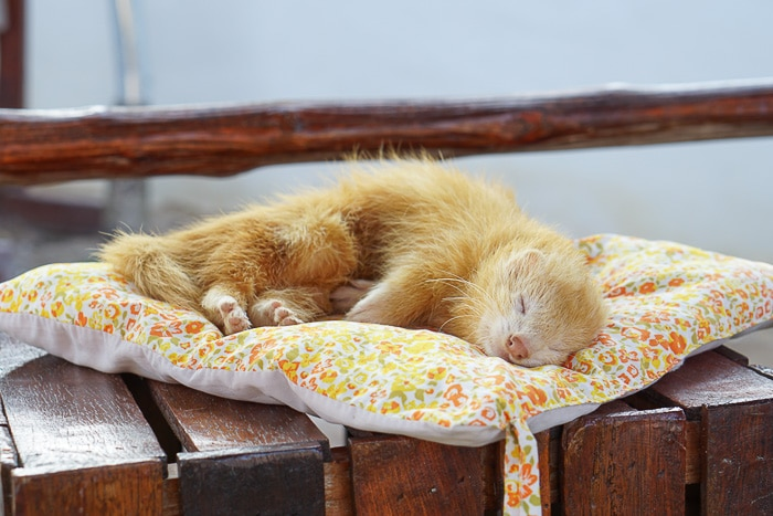 orange ferret sleeping on side on a colorful pillow