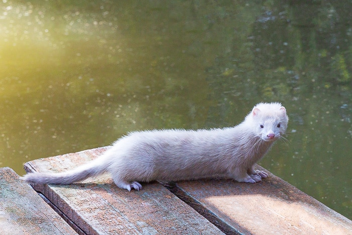 white ferret on end of lake dock