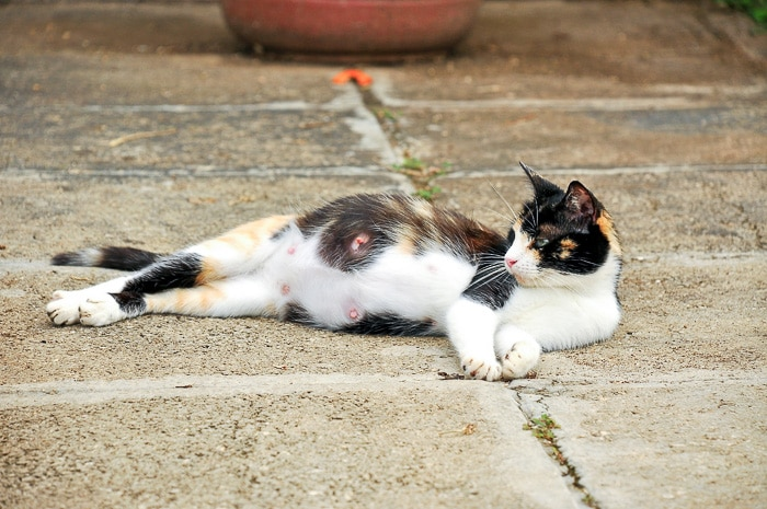 calico cat laying on side with nipples visible